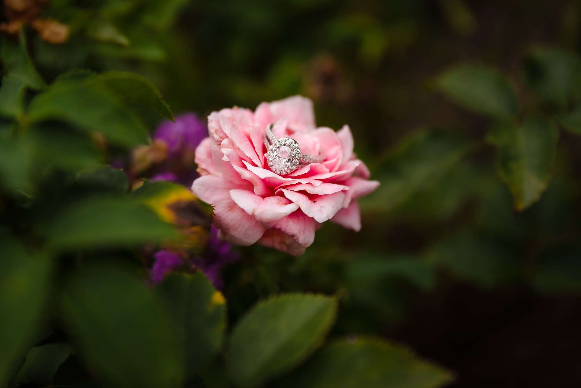 engagement ring on a rose